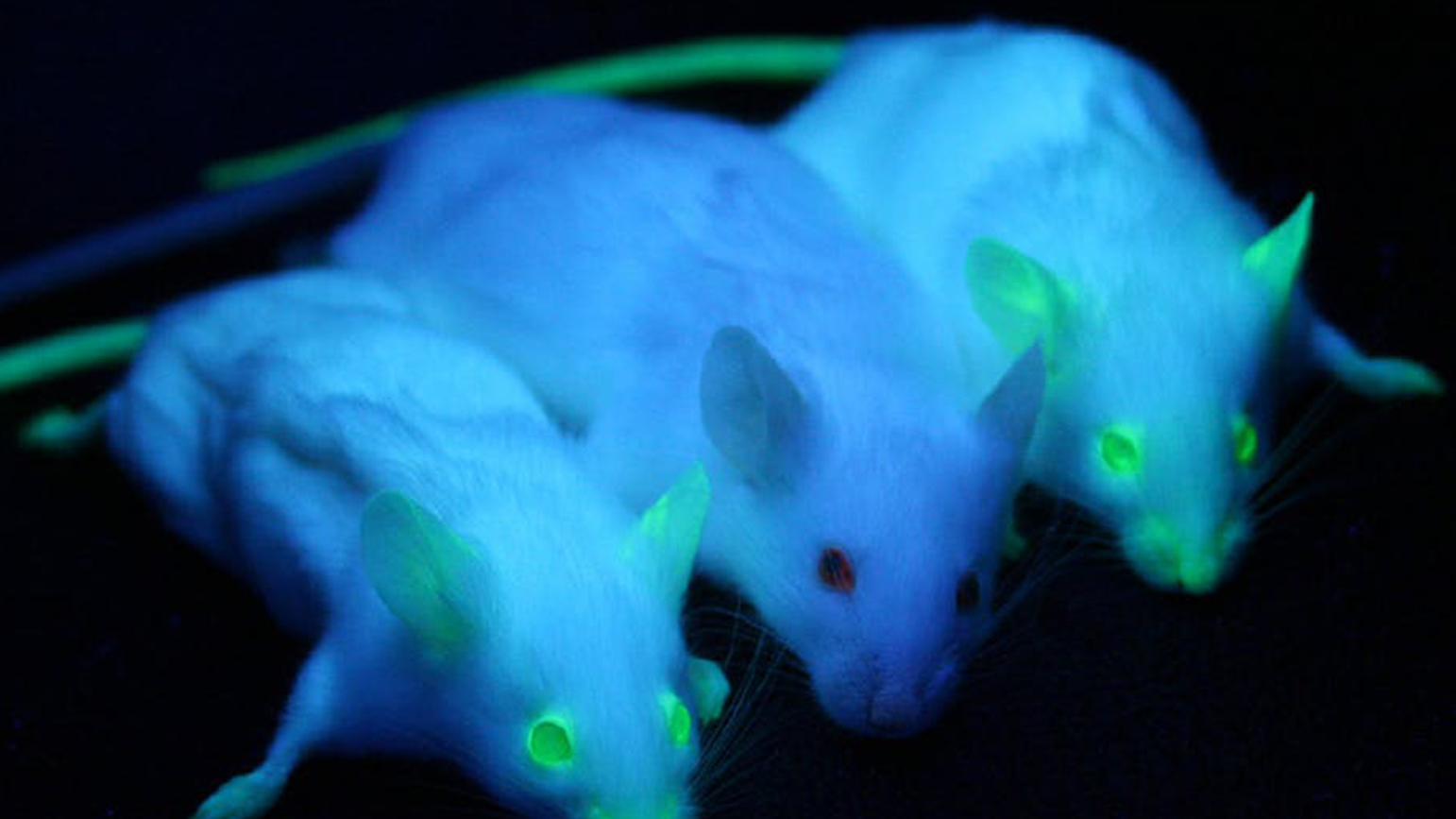 Image of three mice glowing in the dark