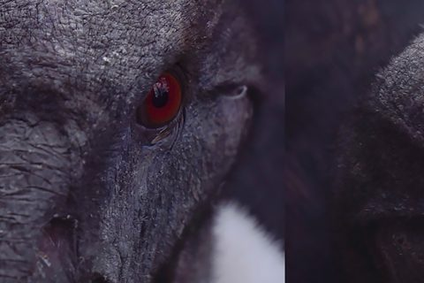 Still from a film showing two close ups of Andean Condors
