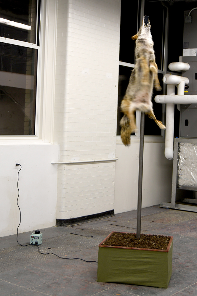 taxidermied coyote on top of a pole